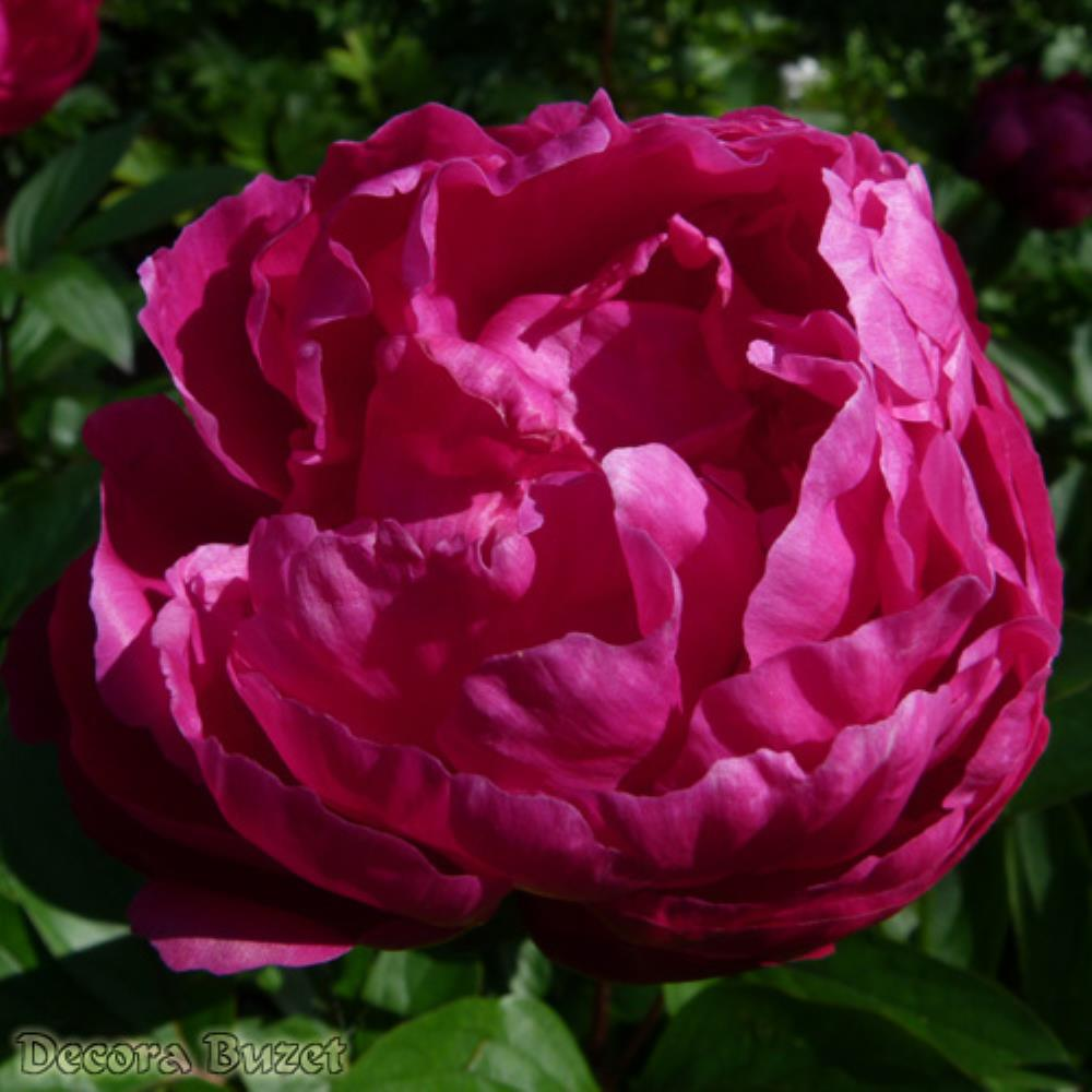 Paeonia 'Red Magic' (zeljasti božur)
