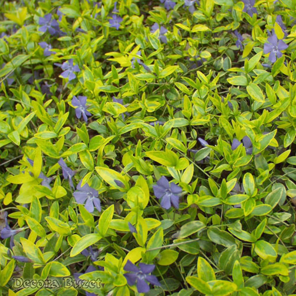 Vinca minor 'Aureovariegata' (mali zimzelen)