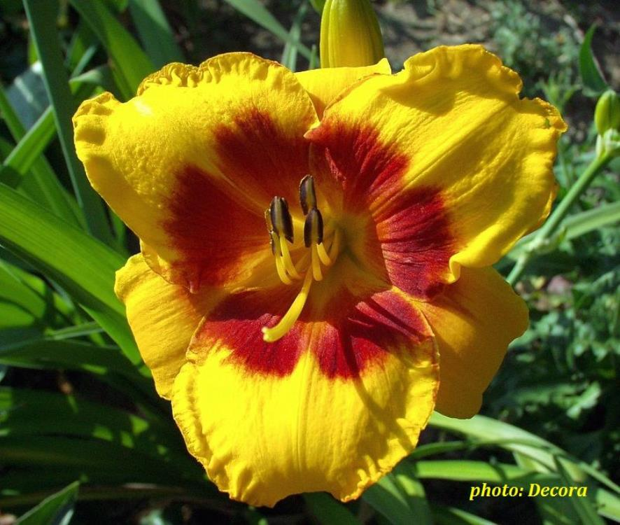 Hemerocallis 'Love Those Eyes' (graničica)