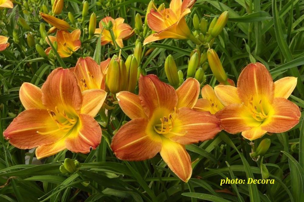 Hemerocallis 'Sunset Breeze' (graničica)