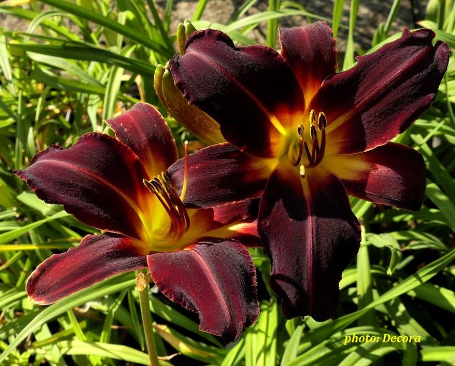 Hemerocallis 'Chicago Blackout' (graničica)