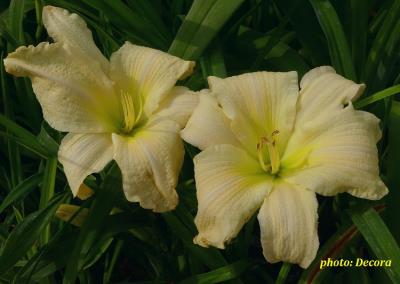 Hemerocallis 'Moment of Truth' (graničica)