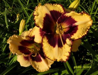 Hemerocallis 'Tiger Blood' (graničica)